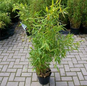 Fargesia robusta Campbell Hecken- und Gartenbambus