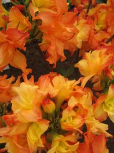 rhododendron mixtum feuerkoepfchen azalee