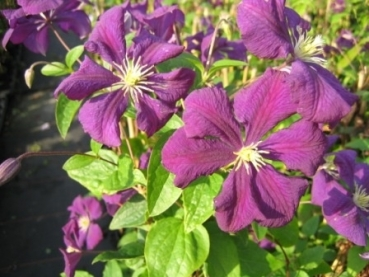 clematis viticella etoile violett 60 100 cm waldrebe. Black Bedroom Furniture Sets. Home Design Ideas