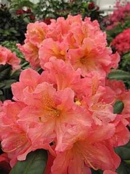 rhododendron hybr dolcemente 30 40 cm. Black Bedroom Furniture Sets. Home Design Ideas