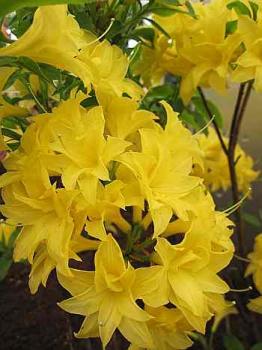 rhododendron mixtum sonnenk pfchen sommergr ne azalee. Black Bedroom Furniture Sets. Home Design Ideas