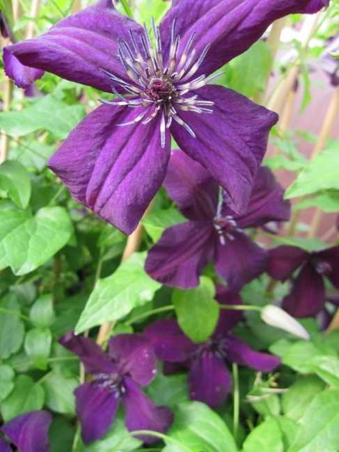 clematis viticella dark eyes 60 100 cm waldrebe. Black Bedroom Furniture Sets. Home Design Ideas