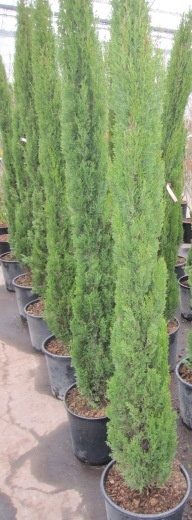 cupressus sempervirens totem toscana zypresse immergr n mittelmeerzypresse. Black Bedroom Furniture Sets. Home Design Ideas