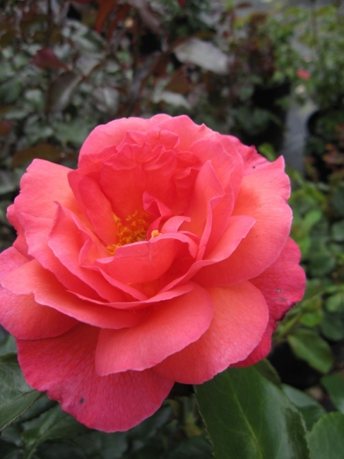 englische rose braveheart syn gordon 39 s college rosa. Black Bedroom Furniture Sets. Home Design Ideas
