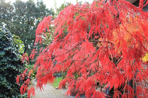 acer palmatum dissectum atropurpureum roter schlitzahorn ebay. Black Bedroom Furniture Sets. Home Design Ideas