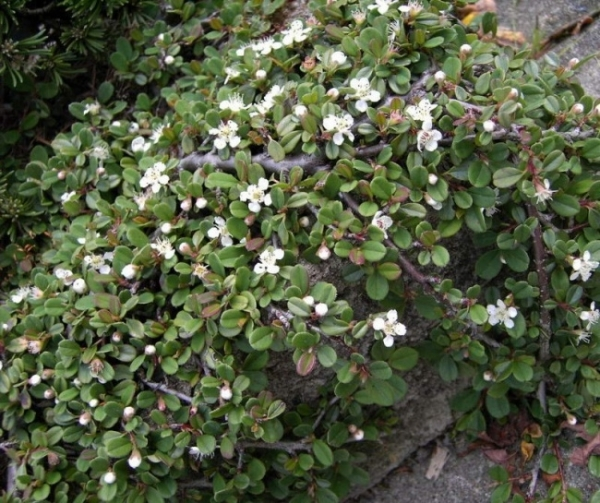 cotoneaster procumbens streibs findling kriechmispel 15 20 cm ebay. Black Bedroom Furniture Sets. Home Design Ideas