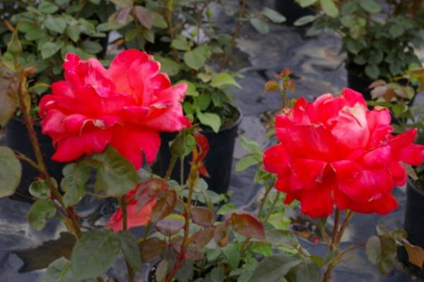 edelrose rosa alexander leuchtend zinnoberrot duft 40 cm ebay. Black Bedroom Furniture Sets. Home Design Ideas