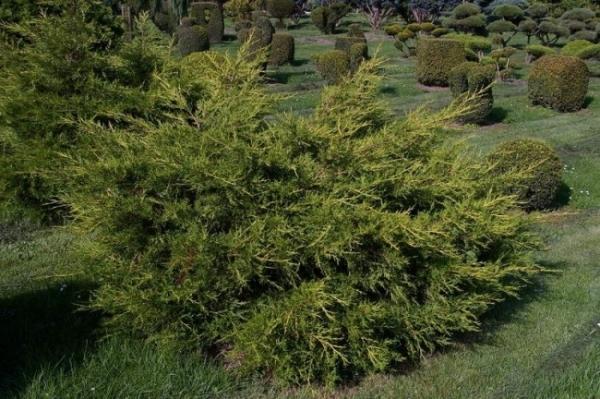juniperus media pfitzeriana aurea gelber pfitzer. Black Bedroom Furniture Sets. Home Design Ideas