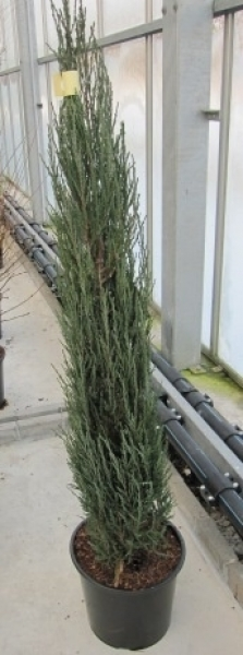 juniperus scopulorum blue arrow raketenwacholder. Black Bedroom Furniture Sets. Home Design Ideas