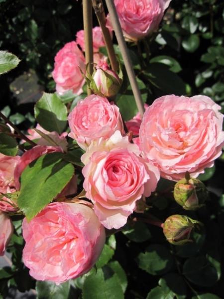 kletterrose mini eden rose rosa mini eden rose. Black Bedroom Furniture Sets. Home Design Ideas