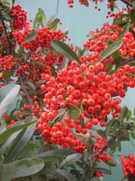 pyracantha coccinea red column feuerdorn red column ebay. Black Bedroom Furniture Sets. Home Design Ideas