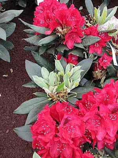 rhododendron hybr aeschbachers rubin 30 40 cm ebay. Black Bedroom Furniture Sets. Home Design Ideas