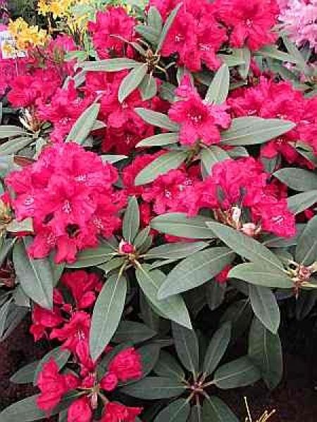 rhododendron blutezeit ihre bla 1 4 tezeit ist von ca ende mai bis mitte juni und bevorzugt lieber halbschattige schatte standorte hybr rabatz hat eine besonders blutezei