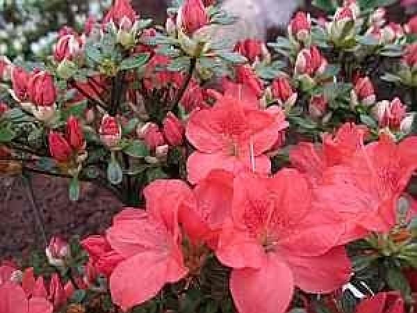 rhododendron blutezeit botanischer name obtusum deutscher japanische azalee herkunft ursprung einheimische zuchtform selektion nepal