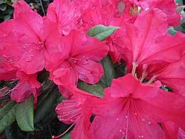 rhododendron blutezeit botanischer name smirnowii deutscher kaukasische alpenrose herkunft ursprung ist eine einheimische zuchtform selektion aus kaukasus rhododendronblute nepal