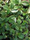 Der Cotoneaster dammeri var. radicans ist eine Zwergmispel mit einer Wuchshöhe von 15 cm und einer Wuchsbreite von 70 cm.