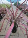 Der Phormium tenax Evening Glow begeistert mit burgunderroten, langen Blättern.