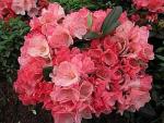 Die Rhododendron hybr. Julia hat einen halbkugeligen, kompakten Wuchs. Die Blüte ist dunkelrosa-hellrosa.