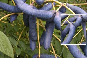 Decaisnea fargesii Blaugurkenbaum blauschote