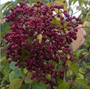 euodia hupehensis bienenweide bienenbaum
