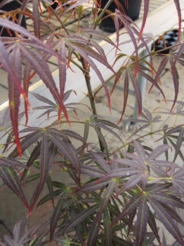 acer palmatum scolopendrifolium atropurpureum japanischer f cherahorn. Black Bedroom Furniture Sets. Home Design Ideas