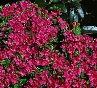 azalea japonica excelsior 25 30 cm. Black Bedroom Furniture Sets. Home Design Ideas