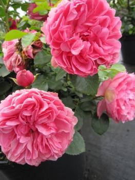 beetrose leonardo da vinci kraftvolles rosa duft 50 cm der baumschule pflanzenvielfalt. Black Bedroom Furniture Sets. Home Design Ideas
