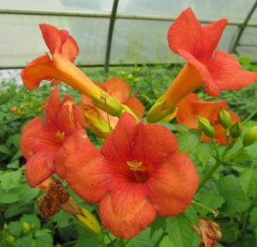 campsis grandiflora trompetenblume jasmintrompete. Black Bedroom Furniture Sets. Home Design Ideas