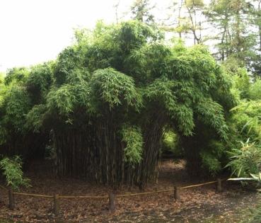 bambus fargesia murieliae jonny 39 s gigant der. Black Bedroom Furniture Sets. Home Design Ideas