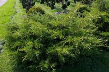 juniperus media pfitzeriana aurea gelber pfitzer wacholder. Black Bedroom Furniture Sets. Home Design Ideas