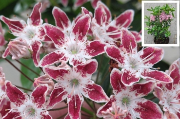 kalmia latifolia galaxy berglorbeer lorbeerrose rhododendron azalee. Black Bedroom Furniture Sets. Home Design Ideas