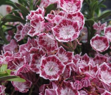 Blüte rosa-weiß Kalmia latifolia Olympic Fire 30-40 Berglorbeer immergrün