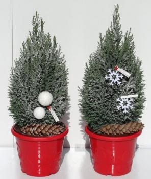 weihnachtsbaum chamaecyparis lawsoniana elwoodii die. Black Bedroom Furniture Sets. Home Design Ideas