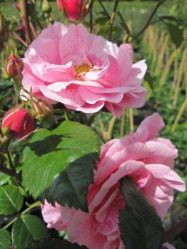 kletterrose camelot rosa camelot zartrosa duft. Black Bedroom Furniture Sets. Home Design Ideas