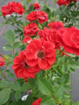 rosa scarlet hit patiorose zwergrose scarlet hit feuerrot duft. Black Bedroom Furniture Sets. Home Design Ideas