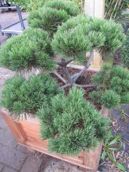 pinus mugo mughus bonsai formschnittd der krummholzkiefer. Black Bedroom Furniture Sets. Home Design Ideas