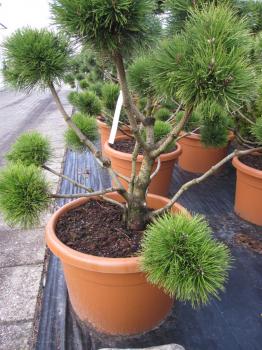 pinus unicata formschnitt bonsai hakenkiefer bergf hre. Black Bedroom Furniture Sets. Home Design Ideas