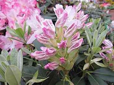 rhododendron hybr ursula alpenrose ursula. Black Bedroom Furniture Sets. Home Design Ideas