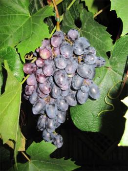 vitis vinifera pamiat negrula tafeltraube aus moldawien sehr mehltaufest weinrebe weintraube. Black Bedroom Furniture Sets. Home Design Ideas