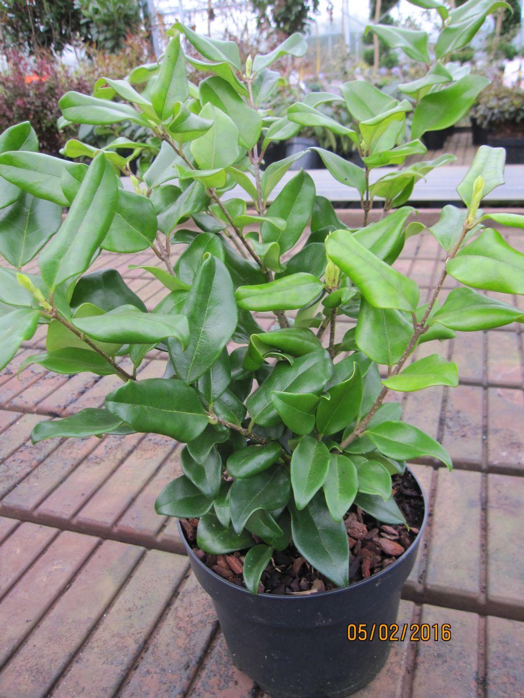 Atemberaubend Ligustrum japonicum Texanum - japanischer Liguster Texanum #PT_74