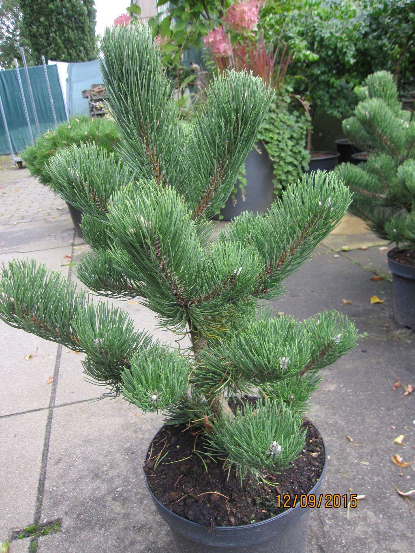 Pinus Nigra Oregon Green Schwarzkiefer Oregon Green