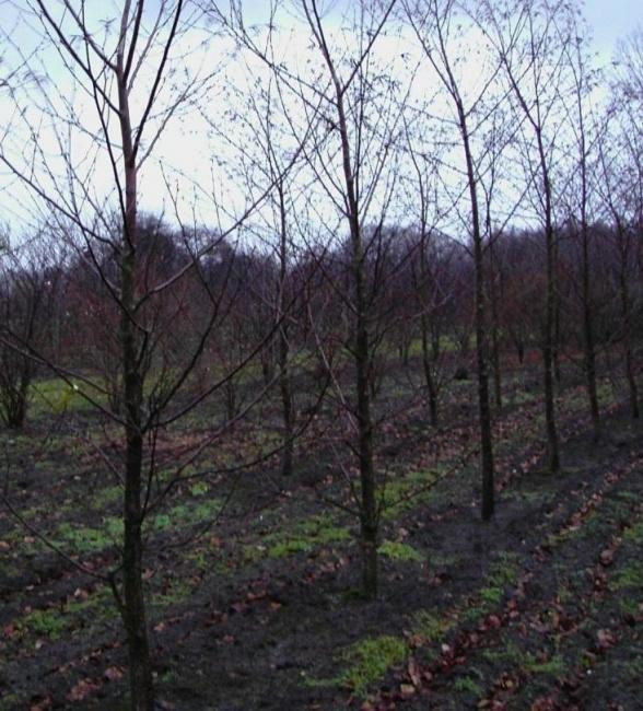 betula maximowicziana lindenbl ttrige birke bronzebirke. Black Bedroom Furniture Sets. Home Design Ideas