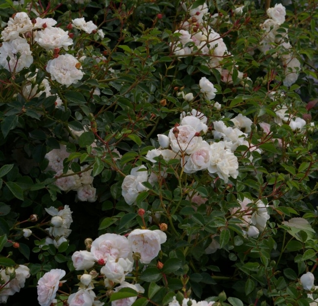 Bodendeckerrose Swany® - Rosa Swany® - weiß - Meilland-Rose -