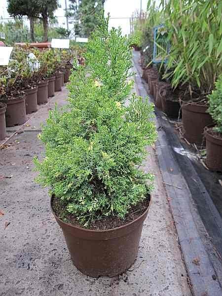 Hinoki Scheinzypresse 15-20cm Chamaecyparis obtusa