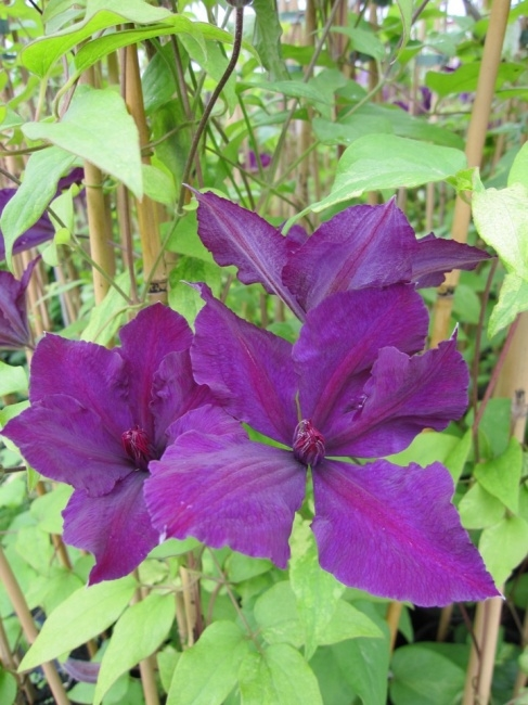 clematis honora 60 100 cm waldrebe klematis. Black Bedroom Furniture Sets. Home Design Ideas