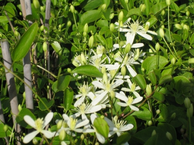 clematis terniflora maximowicziana 60 100 cm. Black Bedroom Furniture Sets. Home Design Ideas