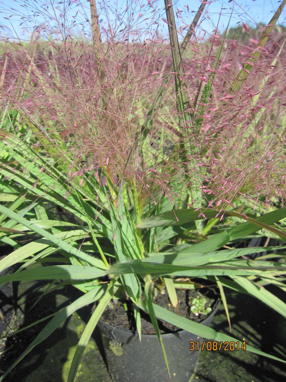 Eragrostis Spectabilis Purple Love