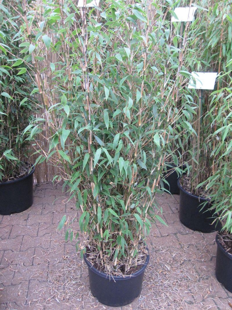 Fargesia Spathacea Purple Dragon Syn Purple Mountains Bambus