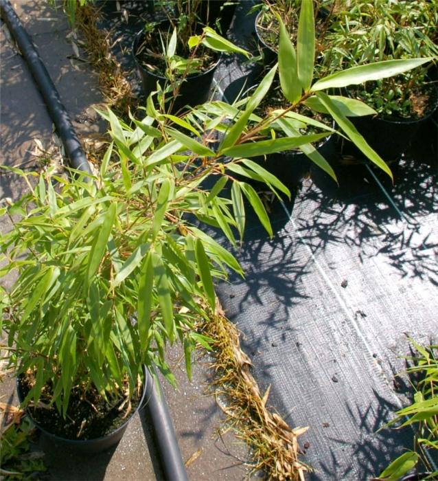 Bambus Fargesia Murielae Sonnenschein Hobbiebrunkens Sonnenschein