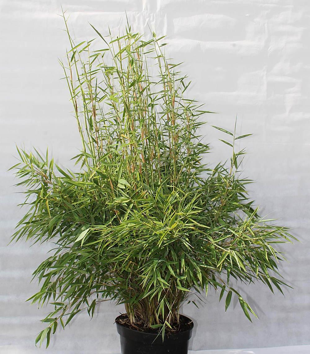 Fur Immergrune Hecken Empfehlen Wir Den Bambus Fargesia Murieliae
